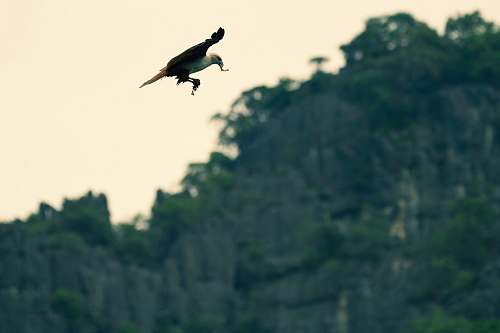 animal brown eagle above trees vulture