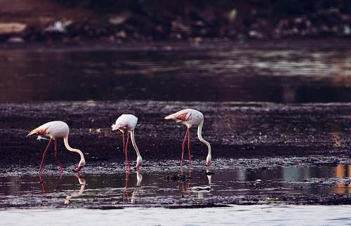 photo animal long-legged birds standing on body of water \ flamingo free for commercial use images