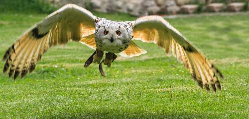 animal soaring owl grass