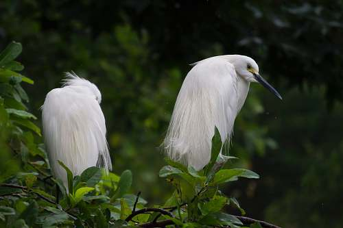 photo animal two white long beak birds ardeidae free for commercial use images