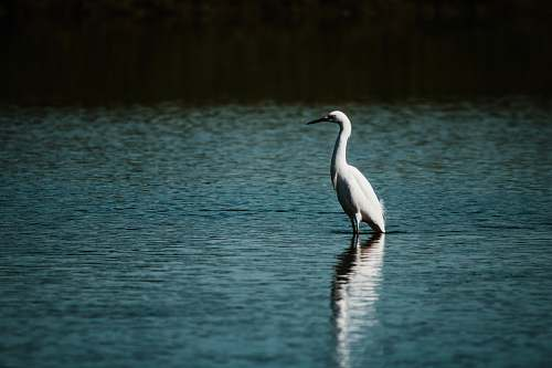 photo animal white swan on calm body of water ardeidae free for commercial use images
