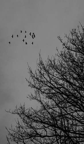 silhouette flock of birds nature
