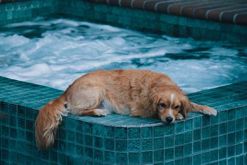 pet brown dog lying on edge of hot tub during daytime canine