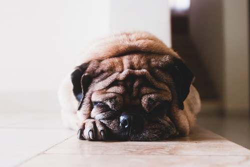 pet shallow focus photography of adult fawn pug canine