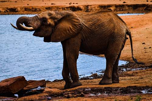 animal elephant near body of water during daytime wildlife