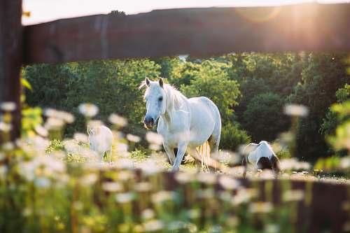 animal white hose on barn meadow