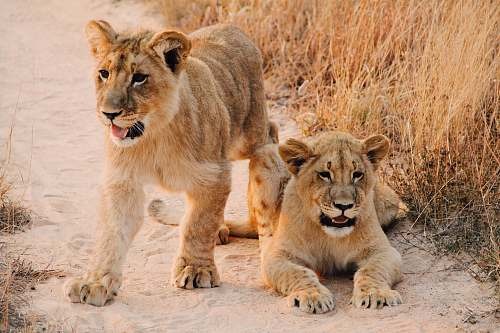 wildlife two lion cab on brown sand road between of dried grass during daytime animal