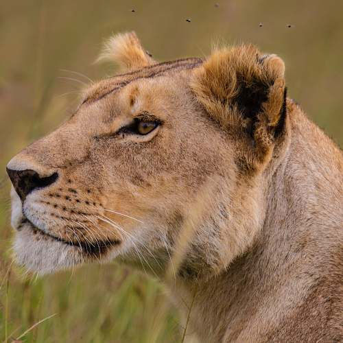 wildlife selective focus photography of lioness during daytime lion