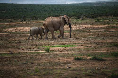 elephant two elephants walking on ground wildlife