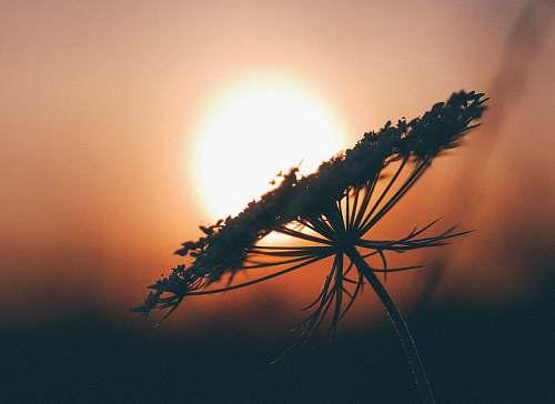 flower macroshot of dandelion during sunset silhouette