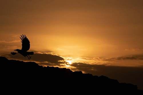 silhouette silhouette of flying bird during golden hour bird