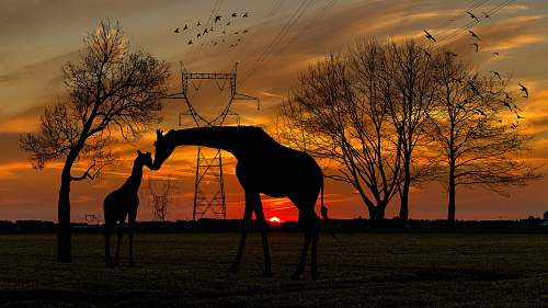 outdoors silhouette of two giraffes on ground under orange skies silhouette