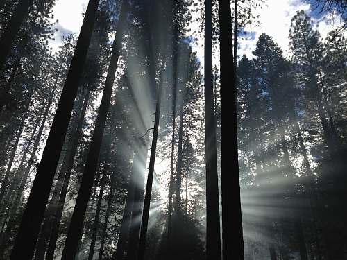 tree forest with sunrays forest