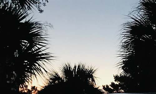 photo tree silhouette of palm trees arecaceae free for commercial use images