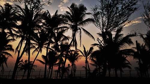 nature coconut trees plant