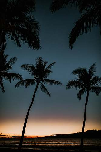 nature coconut trees silhouette tropical