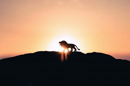 lion lion roaring on top of mountain during golden hour black