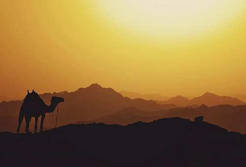 nature silhouette of camel egypt
