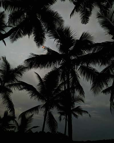 nature silhouette of coconut palm fronds at dusk black-and-white