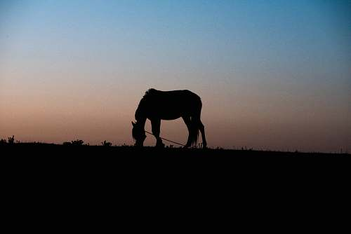 horse silhouette of horse eating grass animal
