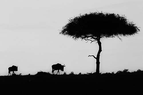 photo black-and-white silhouette of wildebeest near tree grey free for commercial use images