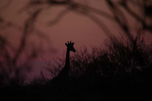 nature silhouette photography of giraffe outdoors