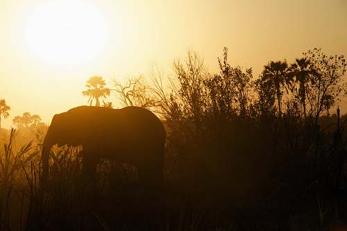 sunrise silhouette photography of elephant near grasses elephant