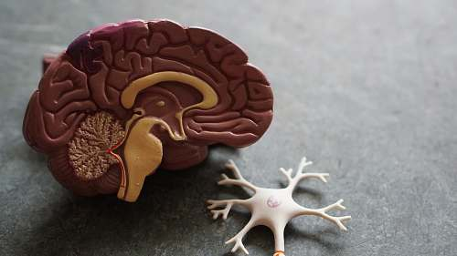 animal human brain toy kangaroo
