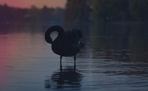photo swan black duck on body of water bird free for commercial use images