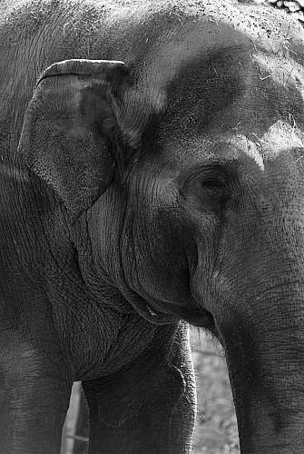 black-and-white closeup photo of elephant mammal