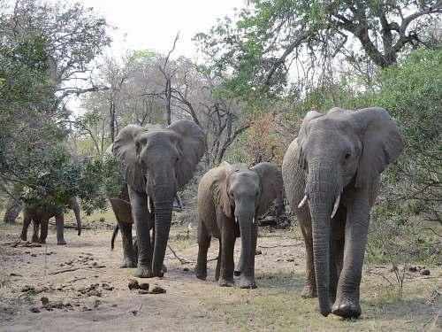 mammal four elephants walking near trees during daytime elephant