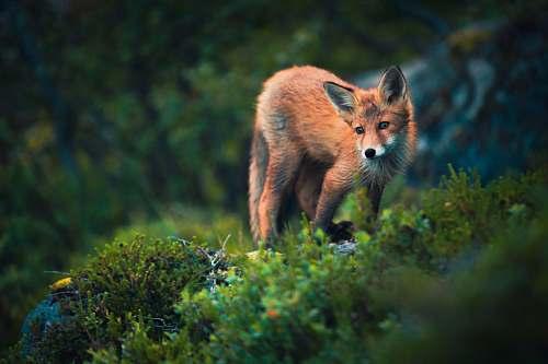 animal fox on grass field fox