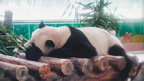 mammal panda on log giant panda