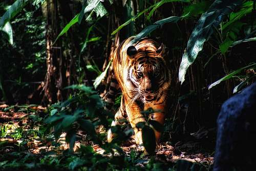 animal selective focus photography of walking brown tiger beside plants mammal