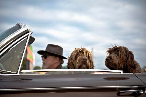 photo pet photo of man driving a car with two dog with him animal free for commercial use images