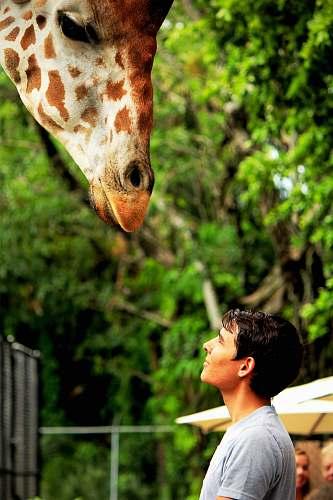 wildlife man looking at giraffe animal