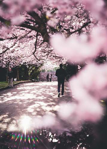 photo flower man walking on road surrounded by cherry trees blossom free for commercial use images