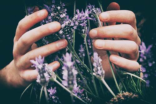 hands person touching purple petaled flowers flora